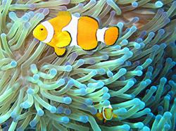 Παράδειγμα Συμβίωσης στο ζωικό βασίλειο. Το ψάρι-κλόουν (clown-fish) προστατεύει την ανεμώνη από ψάρια που τρώνε το φυτό αυτό, και το φυτό με τα πλοκάμια του προστατεύει το ψάρι από τους δικούς του εχθρούς.