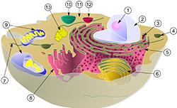 Σχηματική αναπαράσταση κυττάρου του ζωικού βασιλείου.